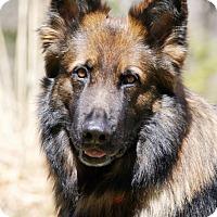 Adopt A Pet :: Noble - Wayland, MA