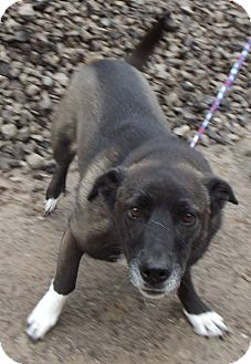 Basset Hound/German Shepherd Dog Mix Dog for adoption in Cheboygan, Michigan - Casey
