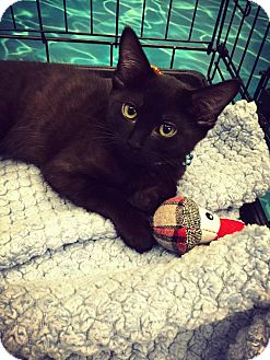 Domestic Shorthair Kitten for adoption in Mansfield, Texas - Buddy
