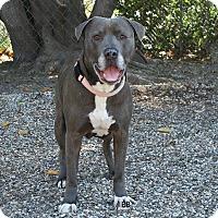 Adopt A Pet :: Silver - Santa Barbara, CA
