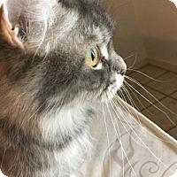 Adopt A Pet :: GREY - Spring, TX