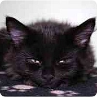 Adopt A Pet :: Black Jack - Markham, ON