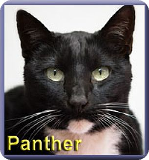 Domestic Shorthair Cat for adoption in Aldie, Virginia - Panther