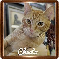 Domestic Shorthair Cat for adoption in Wichita Falls, Texas - Cheeto