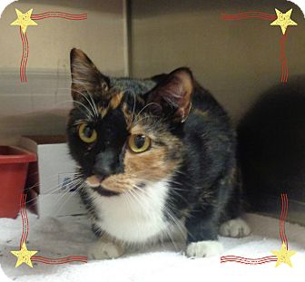 Domestic Shorthair Cat for adoption in Marietta, Georgia - SELINA KYLE