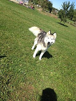 Husky Dog for adoption in Centerburg, Ohio - Mia