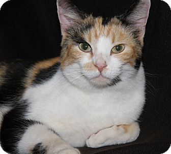 Calico Cat for adoption in Marietta, Ohio - Fritzey (Spayed)