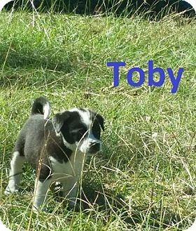 Australian Cattle Dog Mix Puppy for adoption in Augusta, Maine - Toby