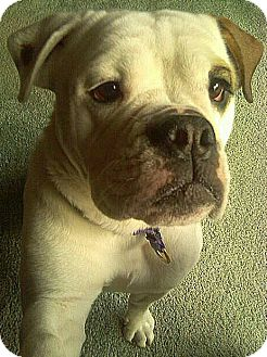 English Bulldog Dog for adoption in West Allis, Wisconsin - Sissy