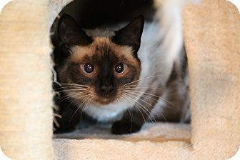 Siamese Cat for adoption in Hagerstown, Maryland - Calvin & Klein