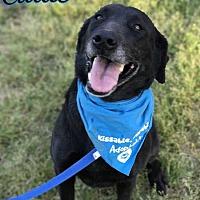 Adopt A Pet :: Callie - E. Greenwhich, RI