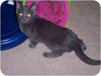 Russian Blue Kitten for adoption in Delmont, Pennsylvania - Johnny