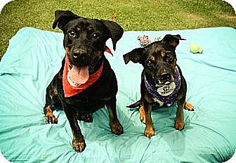 Rottweiler/Beagle Mix Dog for adoption in Temple, Georgia - Pam