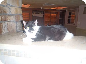 Domestic Longhair Cat for adoption in Port Richey, Florida - OREO