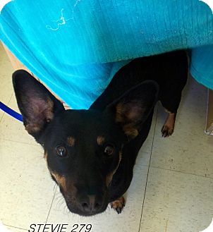 Australian Kelpie Mix Dog for adoption in Waldorf, Maryland - Stevie #279