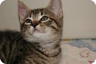 Domestic Shorthair Kitten for adoption in Trevose, Pennsylvania - Denver