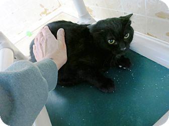 Domestic Shorthair Kitten for adoption in Geneseo, Illinois - Wink