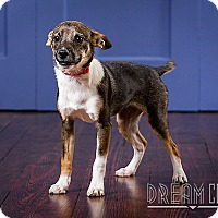 Adopt A Pet :: Anna - Owensboro, KY