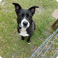Adopt A Pet :: Blackie - Williston, FL