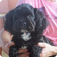 Adopt A Pet :: Curly Joe - Westport, CT