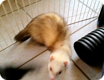 Ferret for adoption in Brandy Station, Virginia - BONNIE & CLYDE