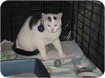 Domestic Shorthair Cat for adoption in Bristol, Rhode Island - Flash