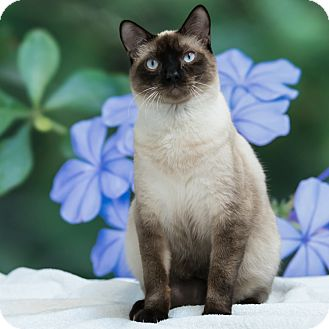 Domestic Shorthair Cat for adoption in Houston, Texas - Coconut