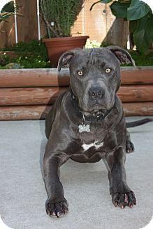American Pit Bull Terrier/Labrador Retriever Mix Dog for adoption in San Diego, California - Zeus
