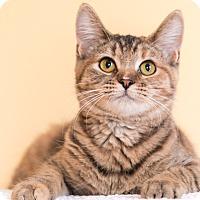 Adopt A Pet :: Bree - Chicago, IL