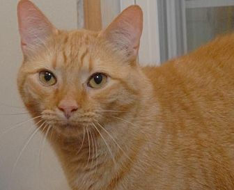 Domestic Shorthair Cat for adoption in Jaffrey, New Hampshire - Nutter-Butter