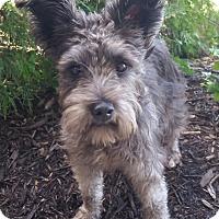 Adopt A Pet :: Alley-Adoption pending - Bridgeton, MO