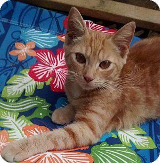 Domestic Shorthair Cat for adoption in Jefferson, North Carolina - Phoenix