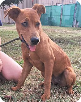 Shepherd (Unknown Type)/Vizsla Mix Dog for adoption in Saratoga Springs, New York - Annie 💜 ADOPTED!