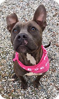 Pit Bull Terrier Mix Dog for adoption in Greensboro, North Carolina - Sasha
