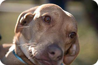 Beagle/Labrador Retriever Mix Dog for adoption in Halethorpe, Maryland - Sunny - ADOPTION PENDING - CONGRATS HEATHER!