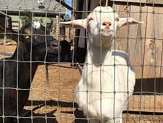 Goat for adoption in cumming, Georgia - Savanna
