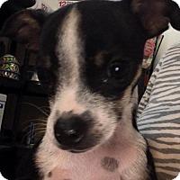 Adopt A Pet :: DJ - Glendale, AZ