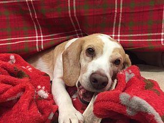 Beagle Dog for adoption in Temple, Georgia - Barnie