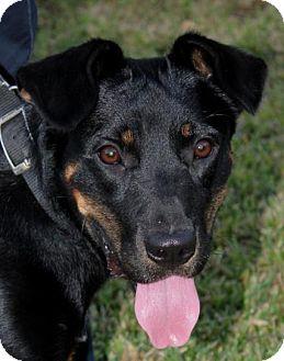 German Pinscher/Terrier (Unknown Type, Medium) Mix Puppy for adoption in Austin, Texas - Phoebe