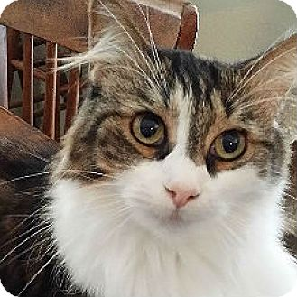 Maine Coon Cat for adoption in Kennedale, Texas - Baby Sister
