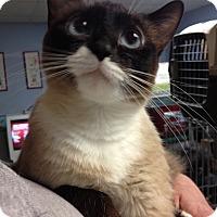 Adopt A Pet :: Angel - Sterling Hgts, MI