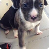 Adopt A Pet :: Saffron (1.5 lb) Adorable! - SUSSEX, NJ
