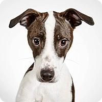 Adopt A Pet :: Alexander - New York, NY