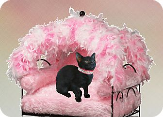 American Shorthair Kitten for adoption in Sugar Land, Texas - Raven