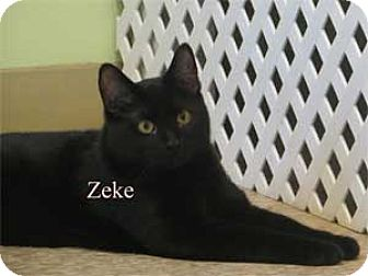 Domestic Shorthair Kitten for adoption in Warren, Pennsylvania - Zeke