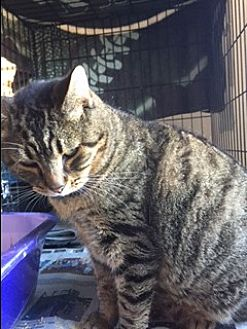 Domestic Shorthair Cat for adoption in Flemington, New Jersey - Charlie