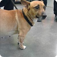 Adopt A Pet :: Darla - Barnwell, SC