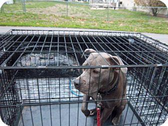 American Staffordshire Terrier Mix Dog for adoption in Windsor, Missouri - Jasmine