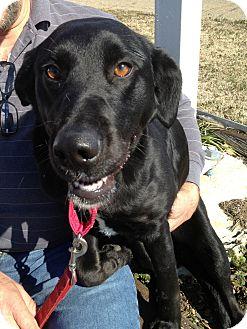 Labrador Retriever Mix Dog for adoption in Richmond, Virginia - Callao