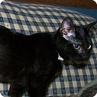 Adopt A Pet :: Sushi - St. Louis, MO